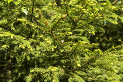 Coniferous branches - needles. In the forest Royalty Free Stock Photos