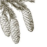 Coniferous branches of trees with cones: pine, spruce, fir, cypress, cedar, succulent, larch. Hand drawn vector illustration on. Coniferous branches of trees vector illustration