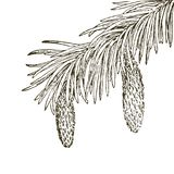 Coniferous branches of trees with cones: pine, spruce, fir, cypress, cedar, succulent, larch. Hand drawn vector illustration on. Coniferous branches of trees royalty free illustration