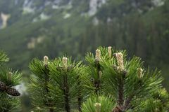 Coniferous bushes on the background of a cloudy sky with a blue gleam. Mountains view through the pine needles, background stock photos