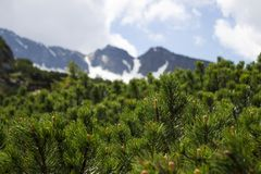 Coniferous bushes on the background of a cloudy sky with a blue gleam. Mountains view through the pine needles, background stock image
