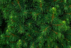 Coniferous bushes, twigs of juniper, green needles texture . Stock Photos