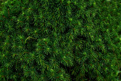 Coniferous bushes, twigs of juniper, green needles texture . Stock Image