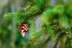 Coniferous cone ripens on green branch macro. Evergreen plant. Macro view royalty free stock image