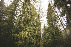 Coniferous deep Forest Landscape moody weather Royalty Free Stock Photos