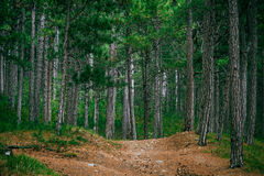 Coniferous deep Forest and road beautiful Royalty Free Stock Image