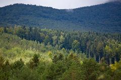 Coniferous dense forest in the Carpathians Royalty Free Stock Image