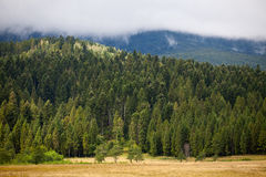 Coniferous dense forest in the Carpathians Royalty Free Stock Photography