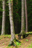 Coniferous evergreen wood with pine tree trunks on the foreground and spruces on the background. Podlaskie province, north-eastern Poland Stock Photos