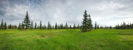 Coniferous Fir Forest and green grass. Coniferous Fir Forest and green meadow on foreground royalty free stock photography