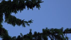 Coniferous fir tree branches with cones move under blue sky background. 4K stock video