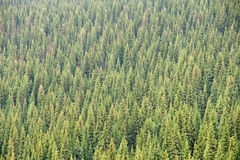 Coniferous Forest Stock Image