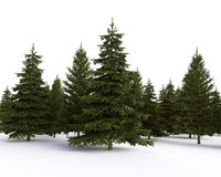 Coniferous forest. Isolated coniferous forest on the white background Stock Photos