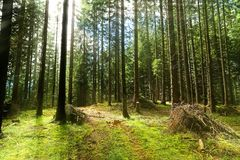 Coniferous_forest Stock Afbeeldingen