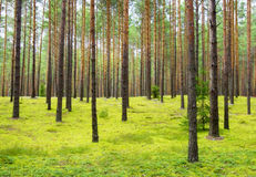 Coniferous forest Royalty Free Stock Photos