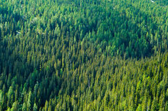Coniferous forest. (spruce and larch forest Royalty Free Stock Photos