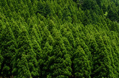 Coniferous forest. Straight growing of deep green coniferous forest Royalty Free Stock Image