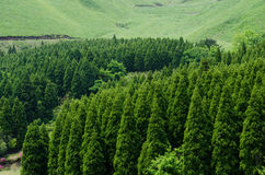 Coniferous forest. Straight growing of deep green coniferous forest and grass field Royalty Free Stock Images