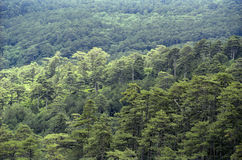 Coniferous forest. Continuous coniferous forest. View from above royalty free stock photos