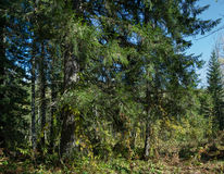 Coniferous forest Stock Images