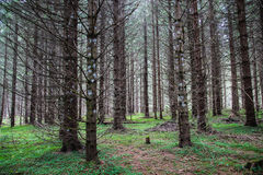 Coniferous Forest. In autumn with green grass and plants on the ground Stock Photo