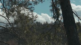 Coniferous forest background stock video footage