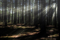Coniferous forest backlit by the rising sun Royalty Free Stock Photos