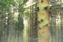 Coniferous forest. Beautiful coniferous forest with sunbeams leading through the stems Royalty Free Stock Images