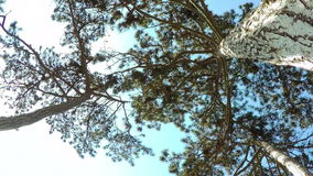 Coniferous Forest. stock footage