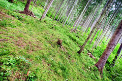 Coniferous forest in clear weather Royalty Free Stock Photo