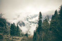Coniferous Forest with cloudy Mountains Royalty Free Stock Photo