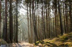 Coniferous forest. At the coast in Poland Stock Photography
