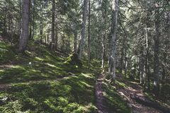 Coniferous forest. At the base of Ineu Peak Royalty Free Stock Photos