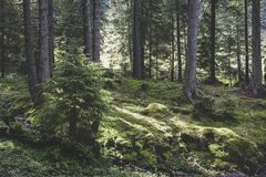 Coniferous forest. At the base of Ineu Peak Royalty Free Stock Images