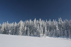 Coniferous forest covered snow Royalty Free Stock Images