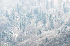Coniferous forest covered by snow. Royalty Free Stock Images