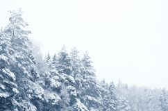 Free Coniferous Forest Covered With Snow Landscape Backdrop. Winter Season Wild Nature Scenery. Snowy Weather. Downfall In Spruce Stock Photo - 161690540