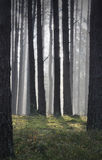 Coniferous forest at dawn Royalty Free Stock Images