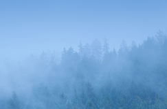 Coniferous forest in dense fog Stock Photos
