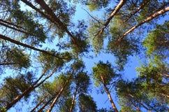 Coniferous forest. Coniferous dense  forest,  landscape, summer Stock Photos