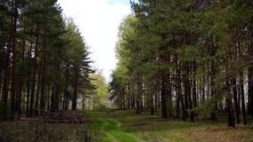 Coniferous forest, dirt road stock footage