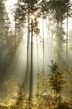 Coniferous forest with early morning sunbeams Royalty Free Stock Photos
