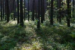 sunrshine in forest near Shatsk stock photography