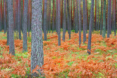 Pine forest in autumn royalty free stock photos