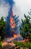 Coniferous forest in fire stock photo