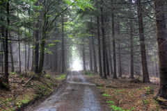 coniferous forest in fog Royalty Free Stock Photos