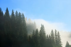 Coniferous forest in fog and morning sunlight Royalty Free Stock Photo