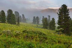 Coniferous forest in the fog on the slope of mountains. Altai Krai. Coniferous forest in the fog on the slope of the mountains. Altai Krai Stock Image