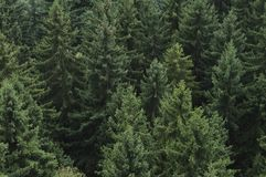 Coniferous forest. In Germany, Saxony Stock Images