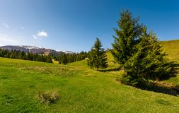 Coniferous forest on a grassy hillside. Lovely springtime scenery at the foot of Borzhava mountain ridge. location - Pylypets, TransCarpathian region, Ukraine Royalty Free Stock Images